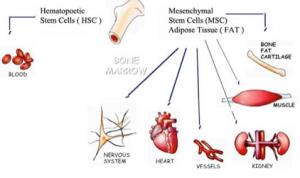 Fat Derived Stem Cells